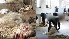 一件溫暖毛衣的背後,都有一隻動物付出的殘酷代價!南非是全球最大「馬海毛」的產地,善待動物組織(PETA)直擊工人剪安哥拉山羊的馬海毛,發現工人們為了快速取得毛,常常抓著山羊犄角和後腿拖行、用尖銳器具刺進山羊耳朵,甚至割喉扭斷山羊的頭顱。(圖/翻攝自YouTube《PETA》)