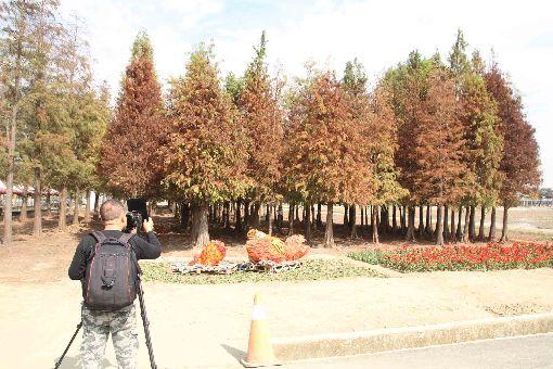 台南氣溫降 催紅落羽松林吸遊客(1)台南地區近日出現入冬以來較明顯的低溫,位於六甲區的落羽松林樹葉慢慢轉紅,吸引遊客前往取景拍照。中央社記者楊思瑞攝 108年1月27日