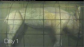 300米深海沉豬屍 千萬海蝨狂噬嚇走鯊魚 圖/翻攝自YT,VENUS Coastal Network頻道