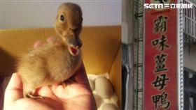孵出小鴨。(圖/Cyril Chiu提供、翻攝網路)