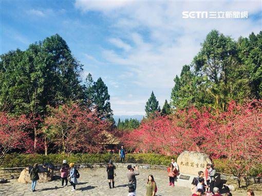 賞櫻,武陵農場,阿里山,九族文化村,馬告生態園區,櫻花,雄獅