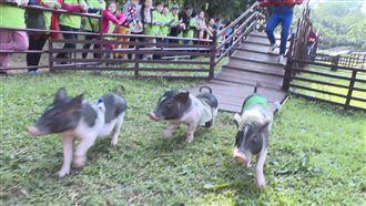 衝了!埔心牧場看賽豬 吃新鮮牛奶鍋