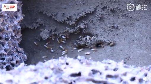 大陸江蘇句容市近日開始進行防治白蟻,工作人員到河城區段挖掘時,發現一個蟻道約10 米長的巨大「白蟻皇宮」。工作人員為了活捉蟻王、蟻后,慢慢地將蟻巢扒開取出,最後發現「王室」,成功捉到一對白胖胖的蟻王與蟻后。(圖/翻攝自秒拍)