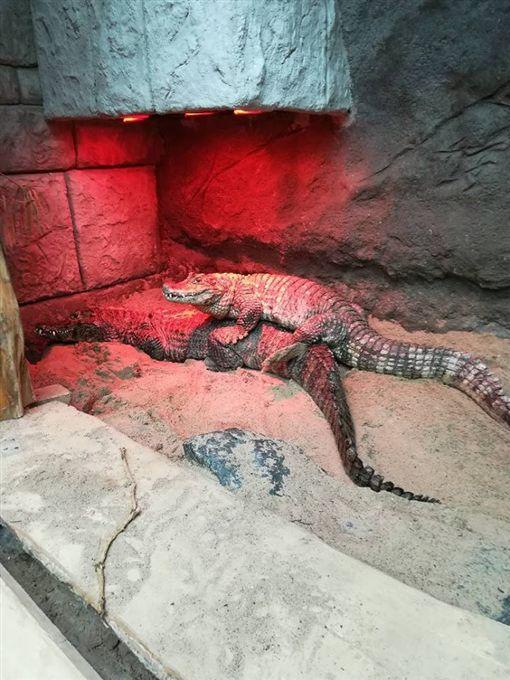 -鱷魚-圖/翻攝自Zoo Poznań Official Site臉書