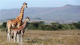 (圖/Pixabay)野生動物園,長頸鹿,大草原