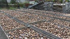 盜賣霉酸菇1200