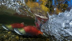 吳永森入圍作品台灣攝影師吳永森以拍攝太平洋紅鮭的生動作品,入圍索尼世界攝影大賽「自然世界與野生動物」組別。(索尼世界攝影大賽提供)中央社記者戴雅真倫敦傳真 108年2月5日
