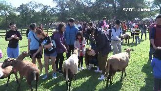 楊梅牧場看趕羊秀!0距離餵小羊萌翻