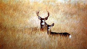 鹿,騾鹿,美國,公路,寄生蟲,精神病,解剖,射殺 圖/翻攝自維基百科 https://zh.wikipedia.org/wiki/File:MuleDeer_ModocCounty.jpg