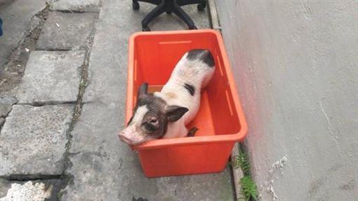 基隆,麝香豬,非洲豬瘟,遺棄(圖/翻攝畫面)