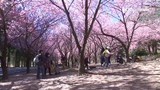 武陵櫻花祭登場 花開七成網路直播花況