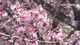 武陵櫻花祭1200