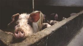 (圖/Pexels)豬,豬圈,農村,養豬