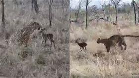 (圖/翻攝自Capture The Wild YouTube)南非,野生動物,獵豹,羚羊