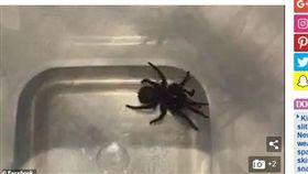 澳洲,蜘蛛,劇毒,漏斗網蜘蛛,致命(圖/翻攝自《每日郵報》)