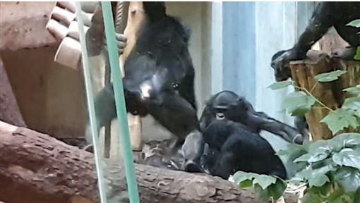 德國動物園,黑猩猩慘遭同類霸凌(圖/翻攝自YouTube)