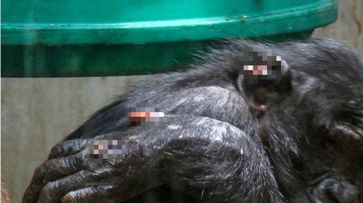 德國動物園,黑猩猩慘遭同類霸凌(圖/翻攝自推特)