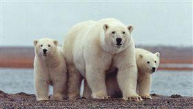 北極熊,俄羅斯,入侵,生活,暖化,覓食,撲殺,獵殺,影響 圖/翻攝自維基百科 https://goo.gl/mieoe1