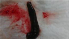 耳鼻喉科醫師為婦女抓出鼻孔水蛭台東余文儀耳鼻喉科醫師11日幫一名婦女抓出鼻孔內水蛭,解除了婦女一個月來的痛苦。(余文儀提供)中央社記者盧太城台東傳真 108年2月12日