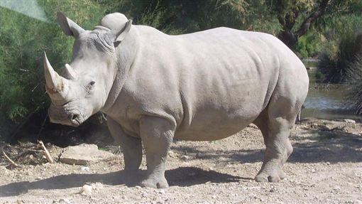 西班牙,瀕危動物標本,非洲獅,白犀牛 圖/維基百科