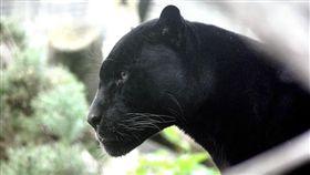 瓦干達,黑豹,肯亞 圖/取自Pixabay