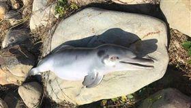 「瀕臨滅絕的台灣白海豚又掛了一隻!」台灣媽祖魚保育聯盟理事長陳秉亨po出一張白海豚的屍體照片,感慨至今仍看不到積極的復育政策。而保育人員指出,這是台灣「第一起」發現台灣白海豚幼體死亡案例,目前屍體已送科博館解剖,死因仍待釐清。 (圖/翻攝自陳秉亨臉書)