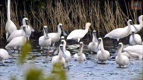 美麗嬌客黑面琵鷺群聚永安濕地(3)