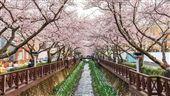 韓國首爾花樂ME 優惠加遊鎮海賞櫻