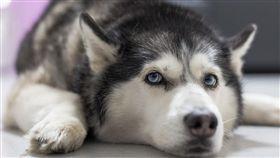 (圖/Pixabay)狗,寵物,哈士奇,二哈