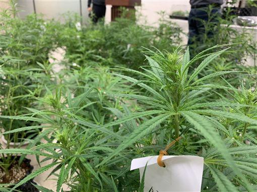 刑事局,大麻,毒品危害防制條例,新北。呂品逸攝