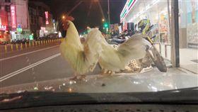 驚見2白雞停在車上…網笑帶回煮來吃 他勸「撿了會衰(圖/爆廢公社)