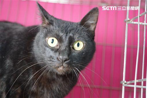 新北市動物保護防疫處,動保處,板橋動物之家,貓,米克斯貓,虎斑色