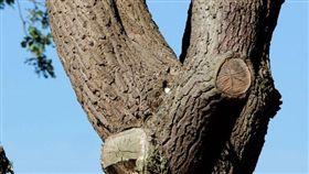 最強保護色!貓頭鷹躲樹上 網友直呼不可能找到牠 太陽報