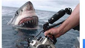 (圖/翻攝自news.com.au)澳洲,大白鯊,攝影師,徒手,危險