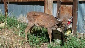殭屍鹿,CWD,病毒,美國 圖/翻攝自USGS 美國地質調查局