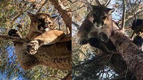 救我拉!美國加州東部日前有屋主報警,表示有「貓困在樹上」,消防人員原先以為只是一般的營救任務,沒想到抵達現場時卻看見…(圖/翻攝自@YCGreer、加州漁業和野生動物局)