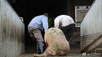 非洲豬瘟蔓延!越南20省市淪為疫區