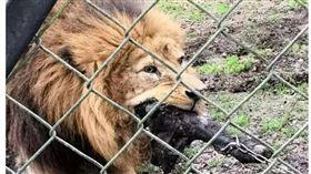 誇張!動物園讓民眾挑戰猛獸 8歲童竟可「參賽」(圖/翻攝自太陽報)