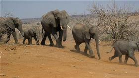 (圖/Pixabay)大象,象群,野生動物