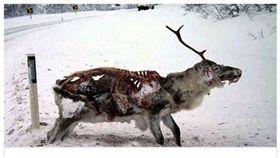 (圖/翻攝自推特)喪屍鹿,Zombie deer,美國,加拿大