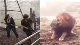 拔河,獅子,老虎,活動,比賽,尊重,動物園,英國 圖/翻攝自YouTube