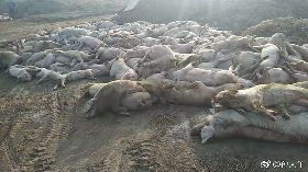 河北養豬場傳1.5萬豬隻暴斃 當局疑