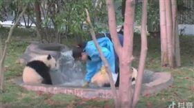 一名女工作人員替熊貓洗澡時,竟被另一隻熊貓狠狠巴頭。(圖/翻攝自抖音)