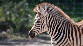 斑馬,叮咬,蒼蠅,馬蠅,保護色,毛色,條紋,研究,動物, 圖/翻攝自Pixabay