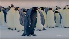 BBC,紀錄片,皇帝企鵝,黑化症,Melanism,基因,突變,品種,掠食者 圖/翻攝自YouTube