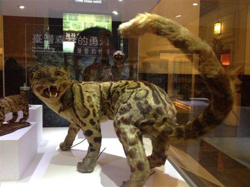 台灣雲豹,圖/翻攝自國立臺灣博物館臉書
