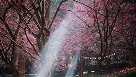 櫻花。(圖/取自九族文化村臉書)