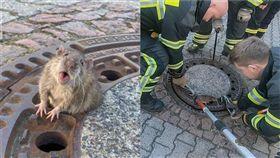 德國胖老鼠卡水溝蓋,民眾打電話要警消拯救牠。(圖/翻攝自Berufstierrettung Rhein Neckar臉書)