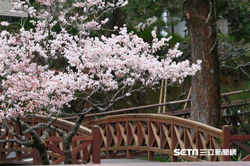 阿里山,櫻花季,/公路總局提供、謝坤宏先生拍攝