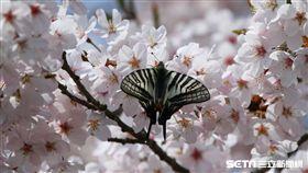 阿里山,櫻花季,吉野櫻,/公路總局提供、謝坤宏先生拍攝